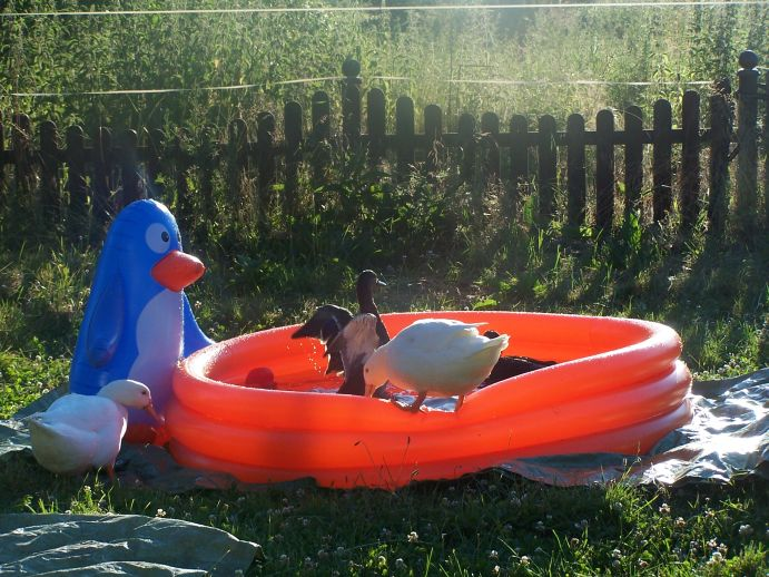 Enten baden im Pool